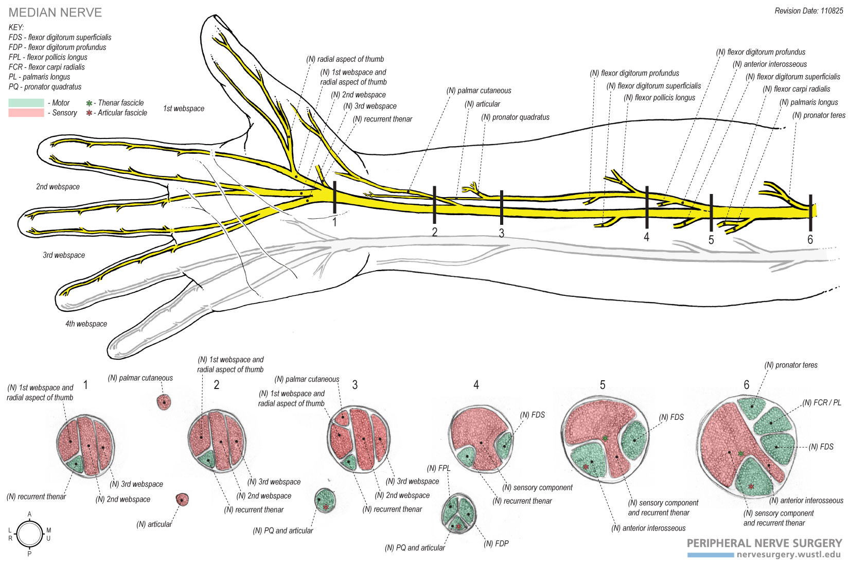 Nerves In Arm And Hand Gallery Human Internal Organs Diagram